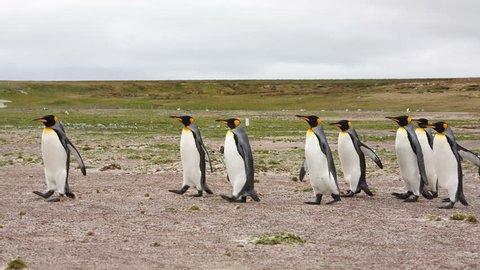 King Penguin & Gentoo Penguin colony at Volunteer Point, Falkland Islands.