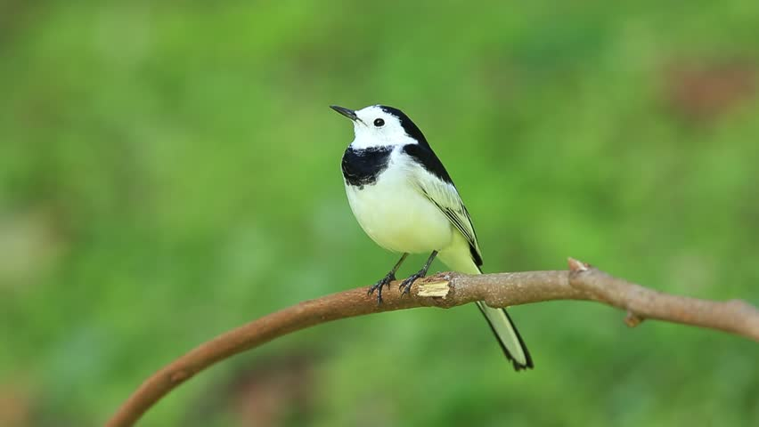 Beautiful black and white bird, Male of White Wagtail (Motacilla alba) standing on branch  showing its front profile in nature of Thailand | Shutterstock HD Video #13364189