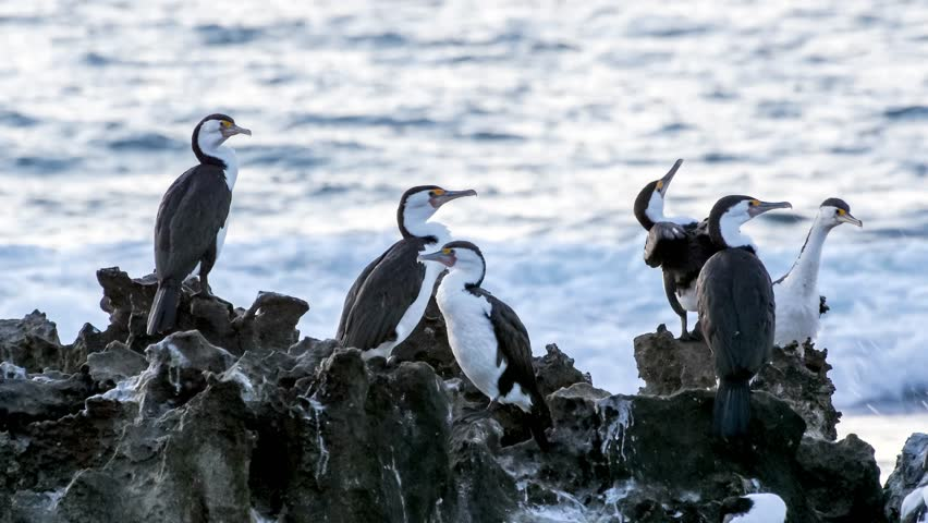 Flock of Pied Cormorants perching and drying their bird wings