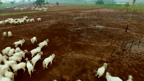 aerial view group of cattle in confinement in Brazil - Para State.