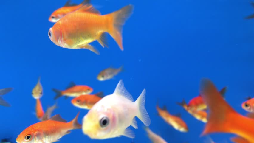 A close up shot of gold fish in a fish tank.