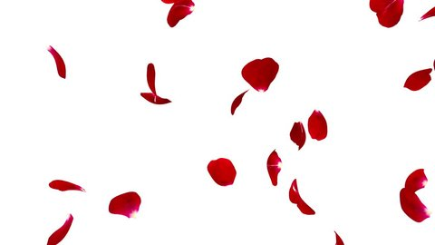 Red rose petals flying isolated on white background. The video is looped. The quality of 4K