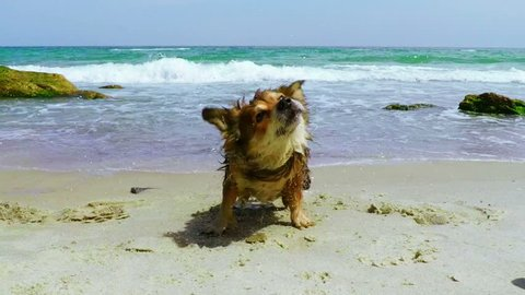 Dog Shaking off Water. Slow Motion.