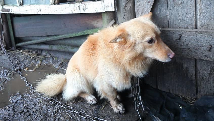 Video dog on a leash near the barn in the Belarusian village | Shutterstock HD Video #13690049