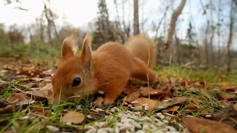 Squirrel red fur funny eating seeds autumn forest on background wild nature animal thematic (Sciurus vulgaris, rodent)