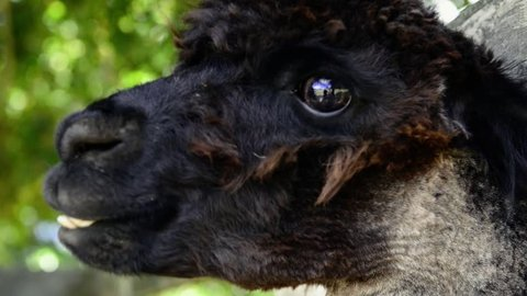 Alpaca in a field during the day in Queensland