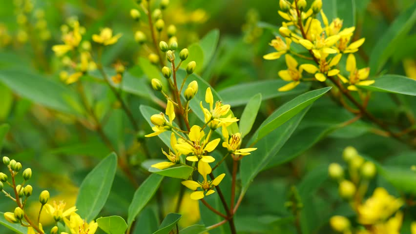 Small Yellow Flowers In Green Leaves Background 4k Stock Video Clip