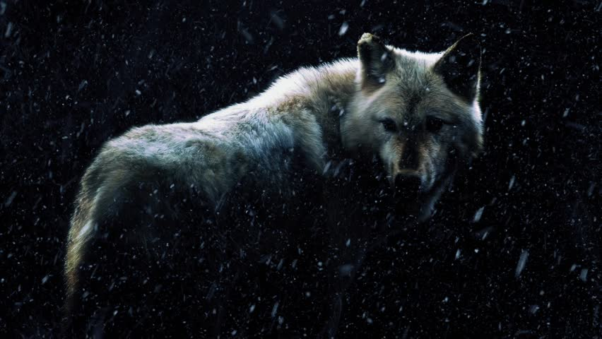 Wolf In Dark Forest With Snow Falling | Shutterstock HD Video #13900886