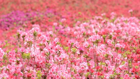 Field filled with pink and red azalea flowers