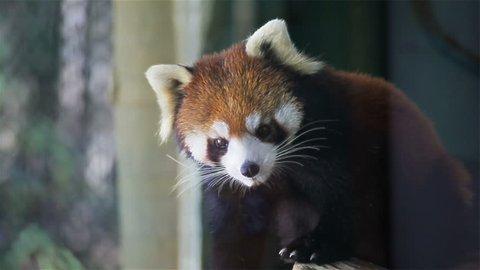 "Red panda, science names ""Ailurus fulgens"" called lesser panda, red bear-cat, on the tree, closeup in HD"