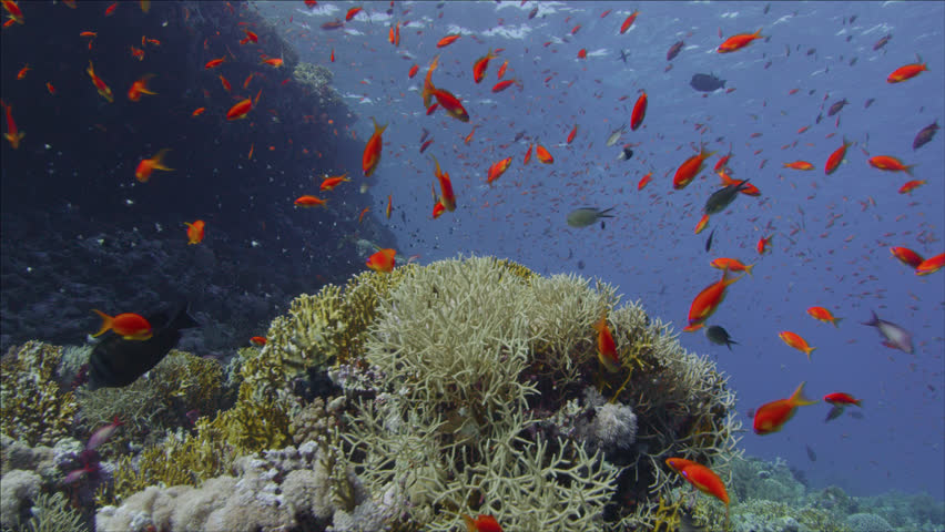 MS School of fish swimming near coral reef / Egypt