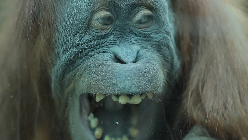 Monkey yelling and showing his teeth