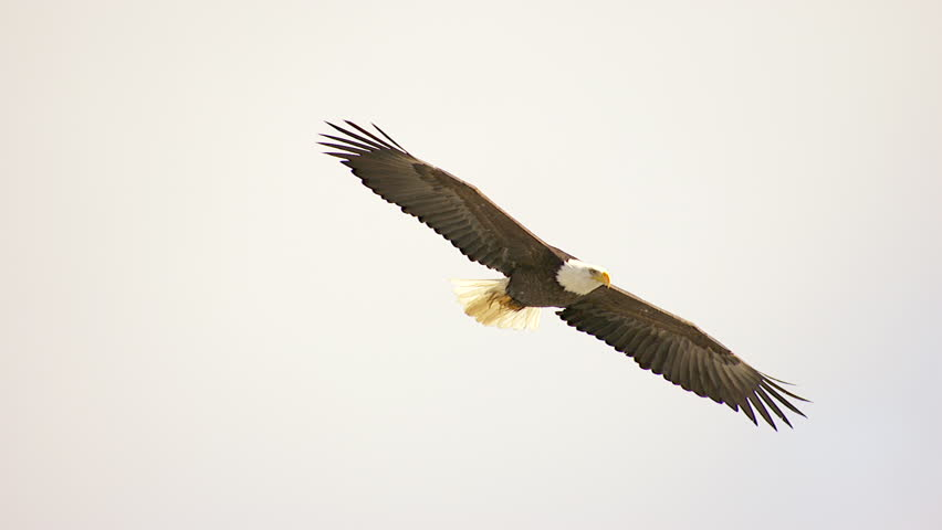 MS TS Shot of bald eagle flying over landscape / Nelson, British Columbia, Canada | Shutterstock HD Video #14027144