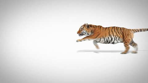 Tiger running on white. Video is well suited for a logo or title.