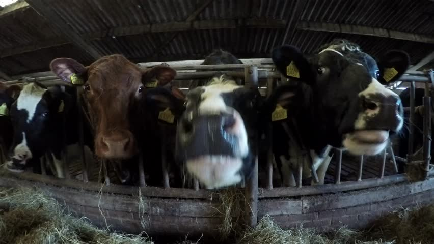 Close Up Dolly Shot Of Mixed Breed Happy Content Cattle Cows In Barn Moving Showing Animals