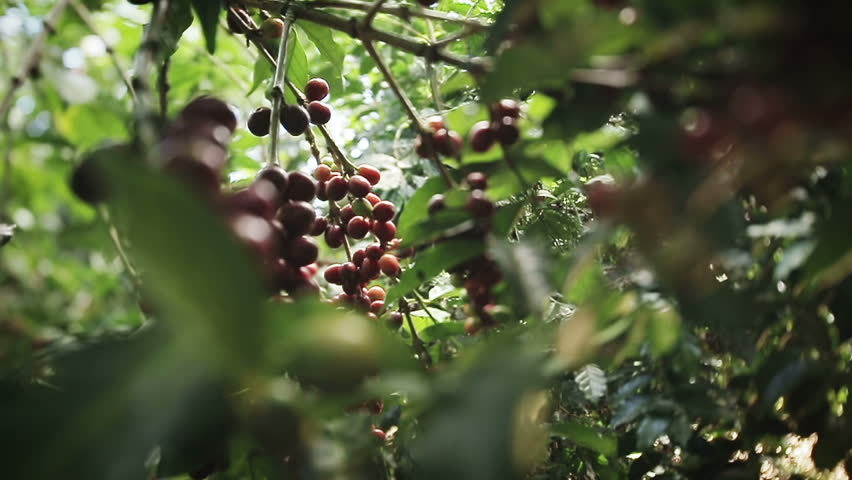 Close up detail and traveling shots of red ripe coffee beans still hanging from branch of the tree.