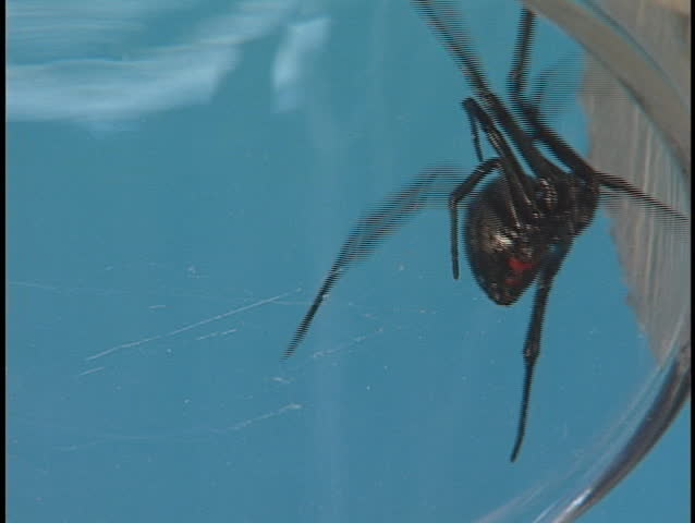 A large Black Widow spider crawls frantically across its web.