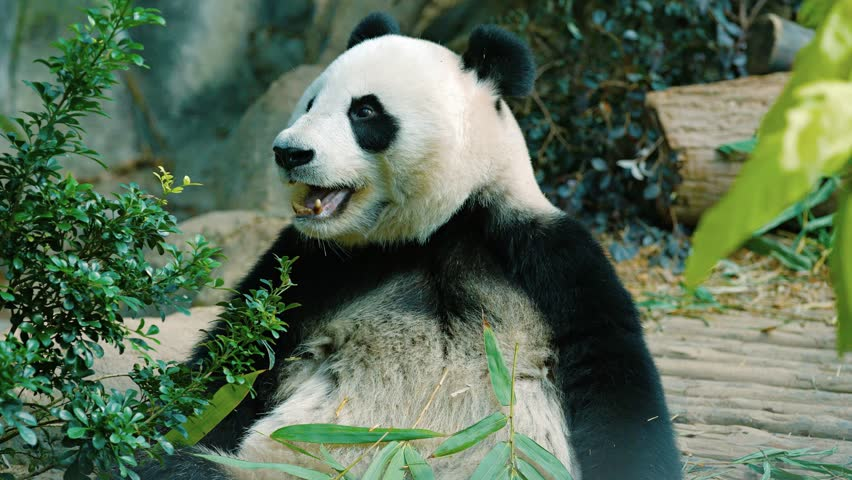 Panda chewing bamboo leaves as it holds the stems in its enormous paws. in his habitat enclosure at a public zoo. UltraHD video