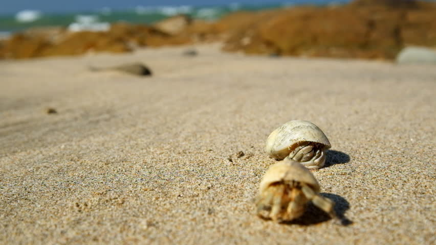 Hermit crab comes out of the shell tropical ocean beach