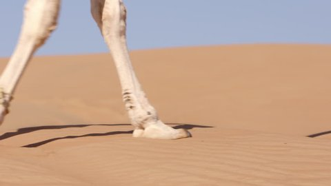 (4k) Close up of camel's feet walking in the desert (Oman)