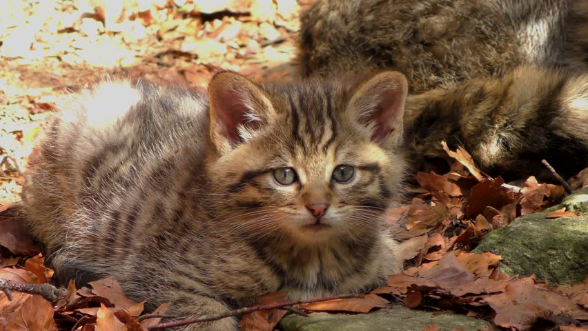 4K footage of a Wildcat (Felis silvestris) kitten in the Bayerischer Wald National Park in Bavaria, Germany. The wildcat is a small cat found throughout most of Africa, Europe and Asia