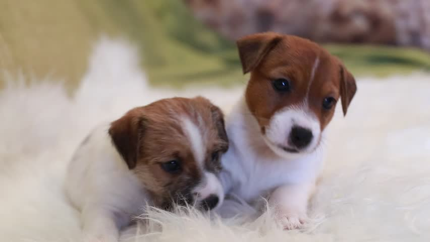 Two puppy jack russell terrier #14541196