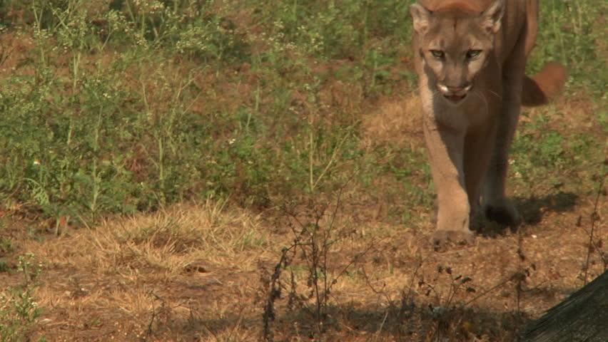 ECU - Florida panther walks past camera