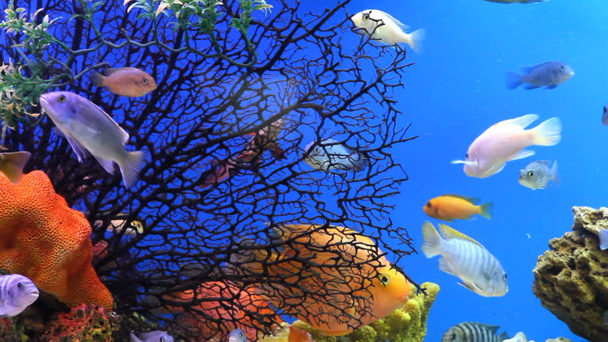 Aquarium Fish Stock Footage Video 100 Royalty Free 1460329