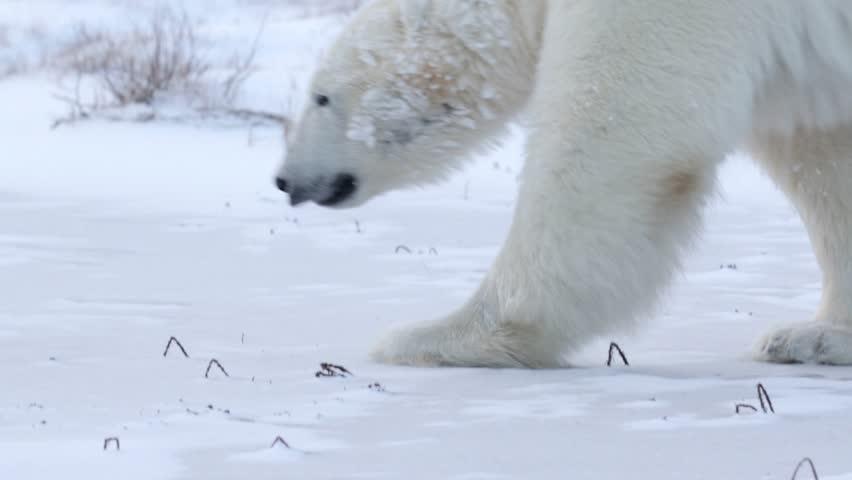 Polar bear walking in the snow Beautiful shot of Polar bear walking in the snow  | Shutterstock HD Video #14699899