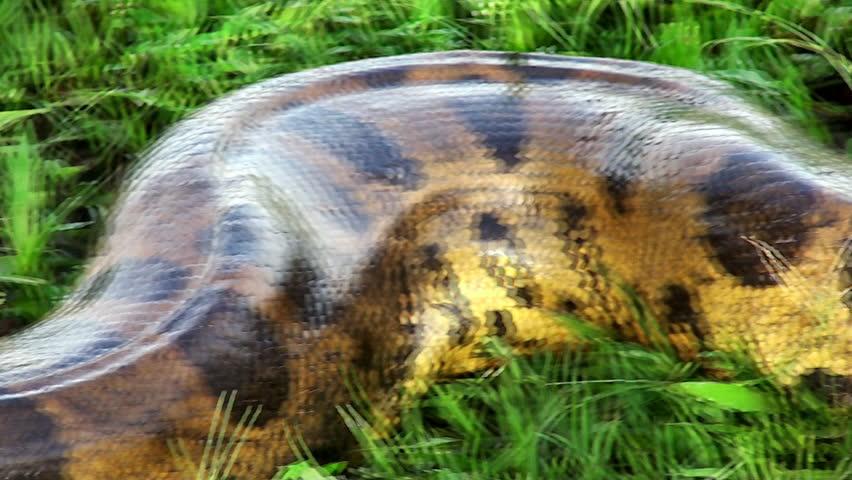wild anaconda