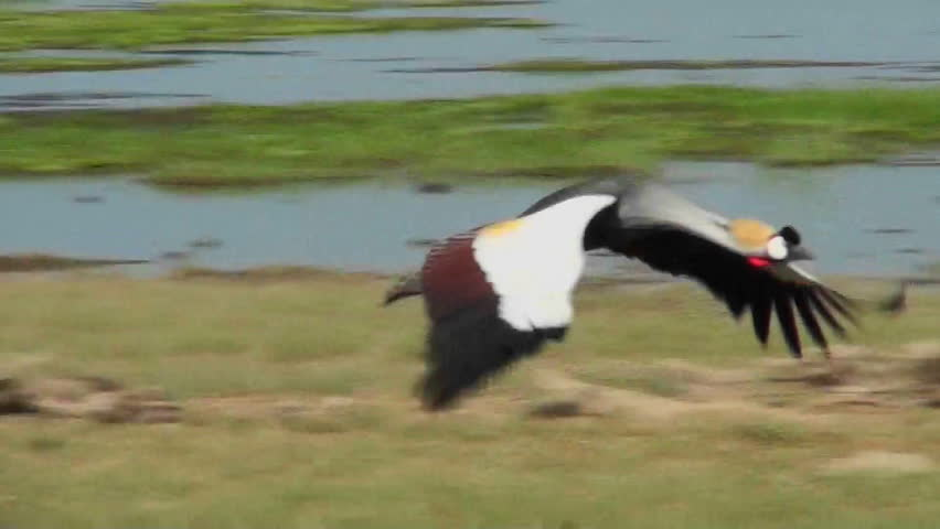 A beautiful slow motion shot of an African crested crane in flight.