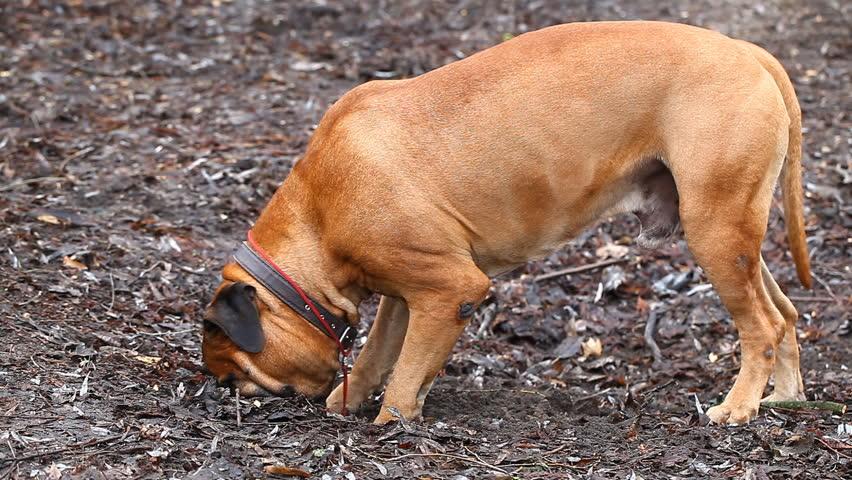 English Mastiff dog breed in the park #14912314
