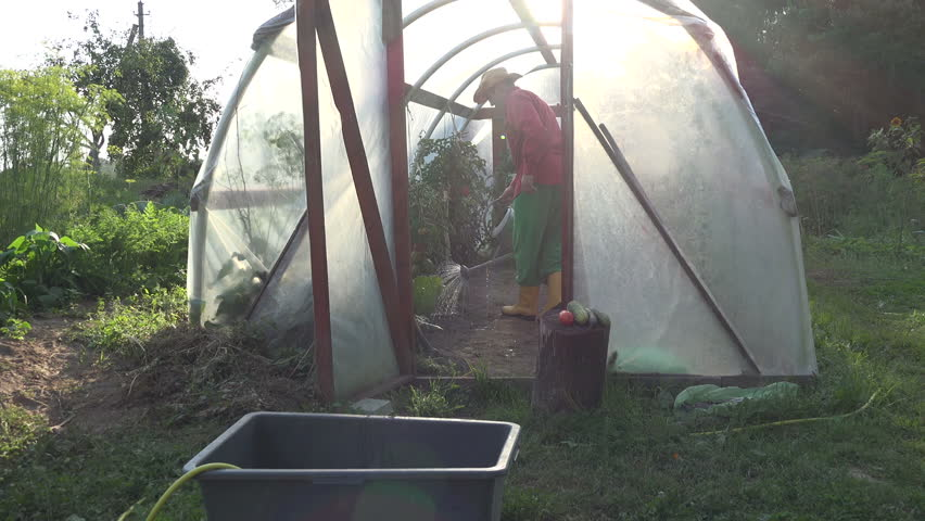 Countryman watering tomato vegetable harvest in greenhouse at summer time. video clip. | Shutterstock HD Video #14964850
