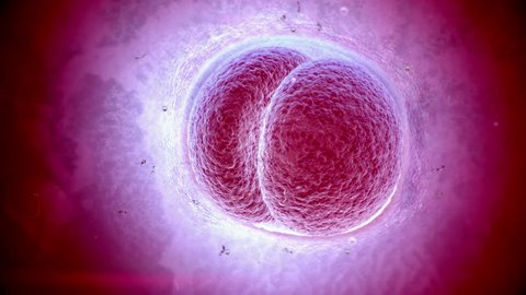 Human cell mitosis, dividing. Initial state of embryo in pregnancy. Time lapsed. In Photoreal look Purple colored.
