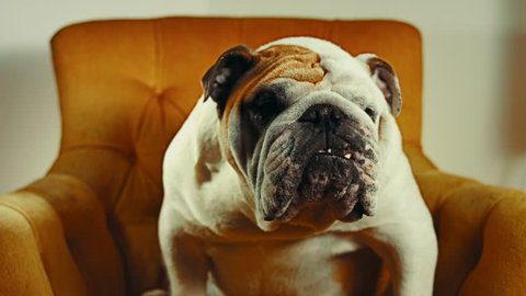 English Bulldog sitting in a chair