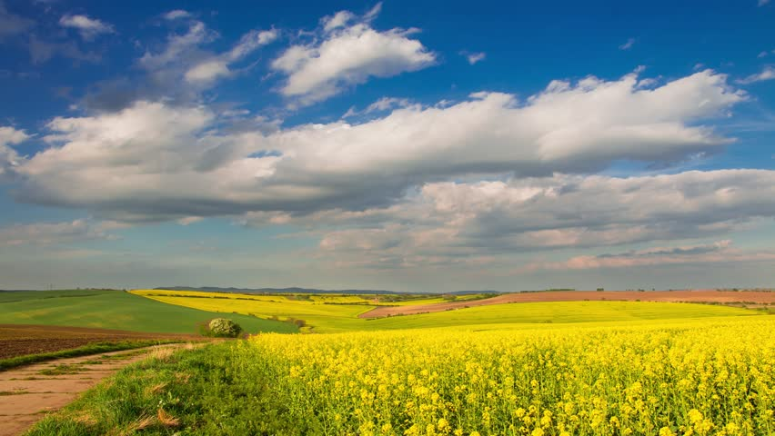 Czech republic bright yellow flowers of oilseed rape in spring vast bright yellow flowers of oilseed rape in spring vast fields of moravia mightylinksfo Images