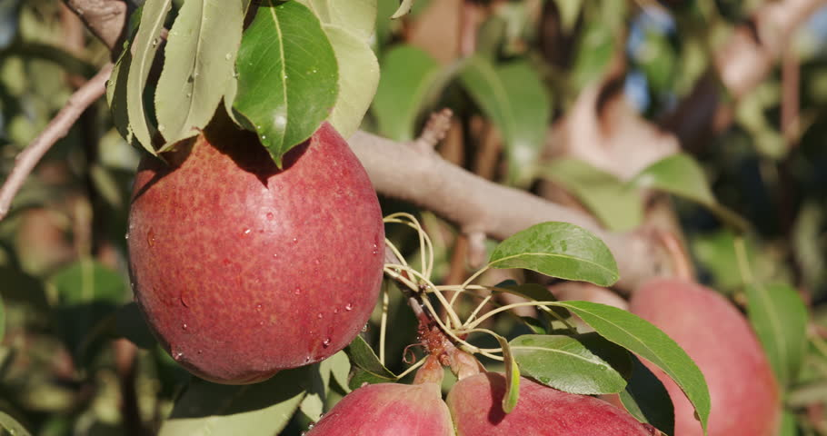 4K close up view of a bunch of pears growing on a fruit tree on a large scale commercial fruit farm | Shutterstock HD Video #15266569