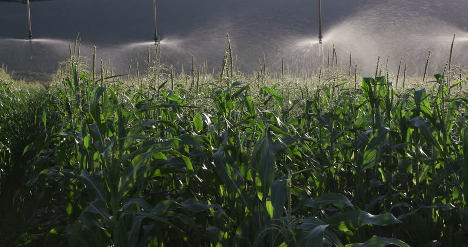 4K panoramic shot of irrigated cornfield of a large scale commercial corn farm | Shutterstock HD Video #15266659