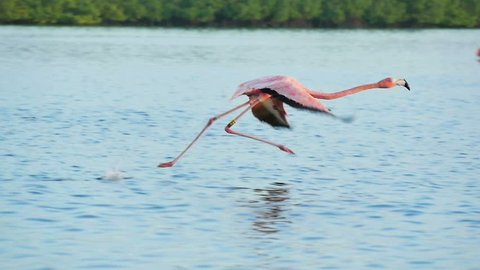 pink flamingos walking on water starts flying slow motion rio lagartos lagoon mexico