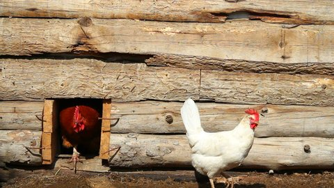 Chickens and a rooster in a wooden chicken coop