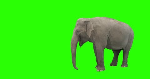 Elephant on green screen, captured on 4k camera.