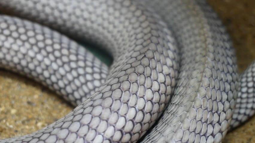Close up body of King Cobra snake while crawling
