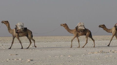 Camels caravan carrying salt in Africa's Danakil Desert, Ethiopia