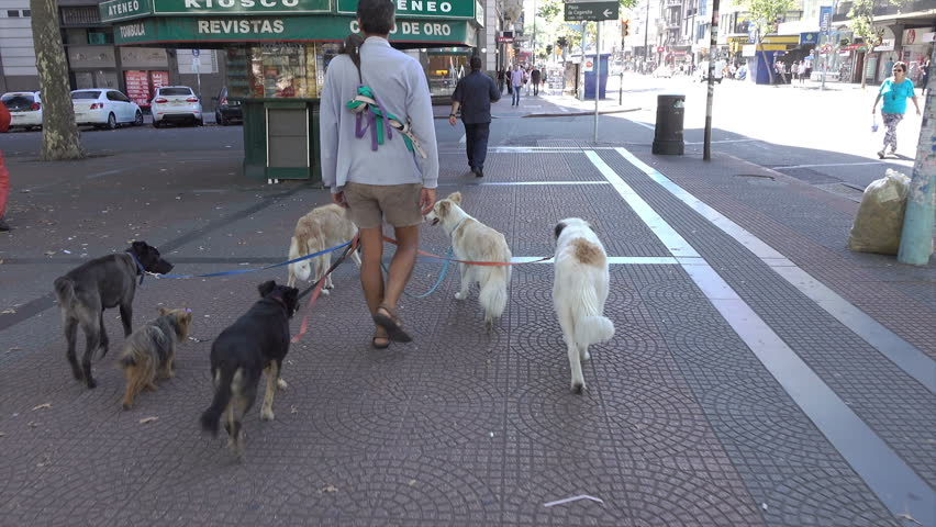 MONTEVIDEO, URUGUAY - FEBRUARY 11, 2016: Unidentified professional dog walker walks dogs in the city. Groups of well behaved dogs on leads are a common sight in Montevideo.
