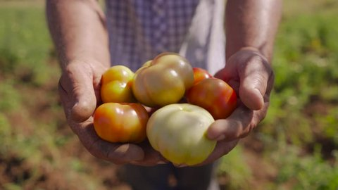 Farming and cultivations in Latin America. Farmer in tomato field, holding vegetables in the hands and showing them to the camera. The man stands proud. Close up shot.