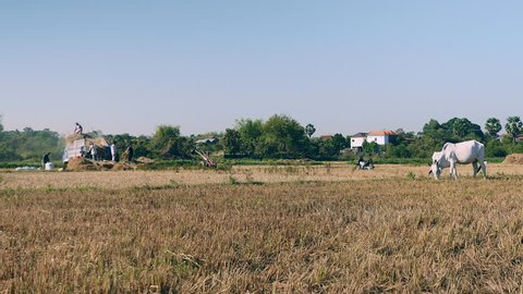 White cow grazing in a dry field and farmers threshing rice with a machine in the background
