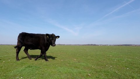 Spring cows just outside again walking past camera blue sky background beautiful weather young animals enjoying spring time fresh grass and amazing blue sky mix species Holstein and Aberdeen Angus 4k