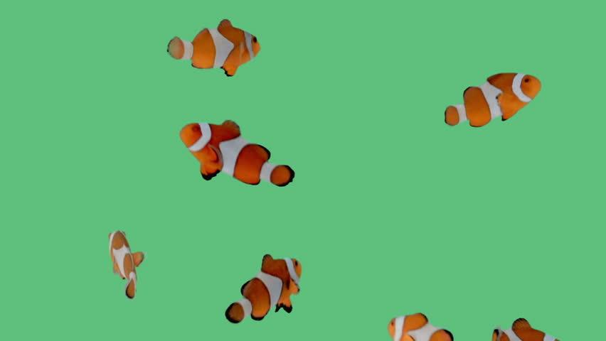 A school of clownfish swimming playfully around an aquarium on green screen.  | Shutterstock HD Video #15600589
