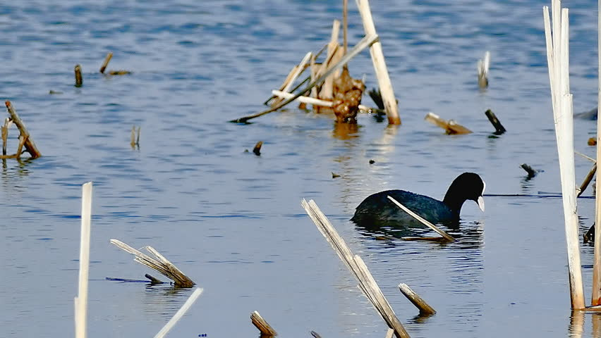 Black  bird wild duck floats on the water in lake natural conditions | Shutterstock HD Video #15604489