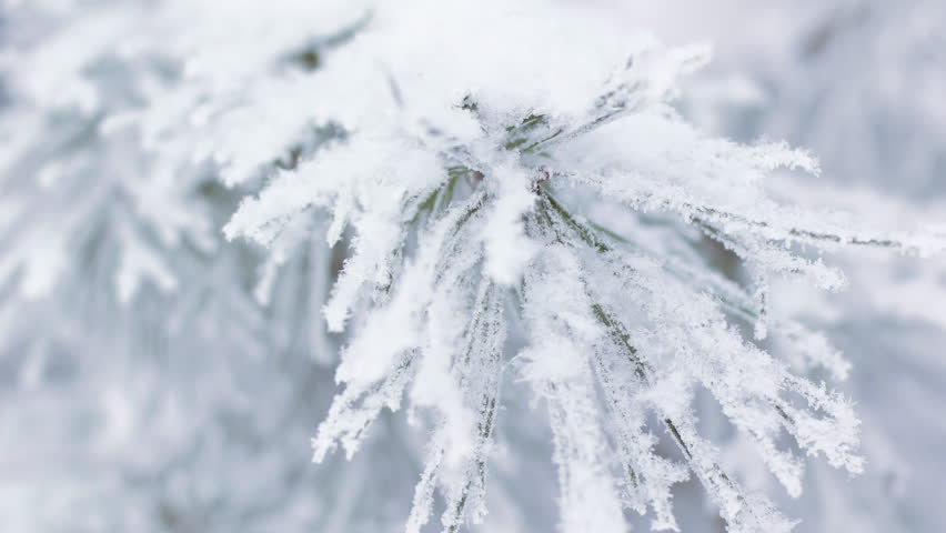 Pine branches covered with hoar frost, 4K realtime video